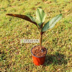 calathea-ornata-pinestrip