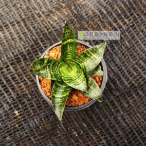 green-sansevieria