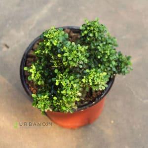 kamini bonsai plant