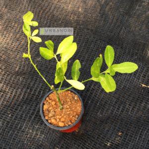 lemon-plant