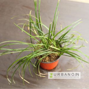lucius-luzula-grass