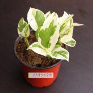 marble-prince-money-plant