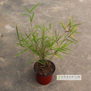 ornamental-bamboo-