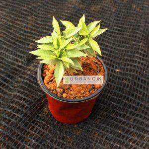 variegated-mini-tagar