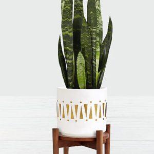 Indoor Sansevieria green snake plant