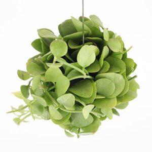 Dischidia Apple Leaf plant