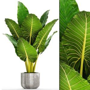 "Rarest ""Borneo Giant"" Alocasia Elephant Ear Plant"