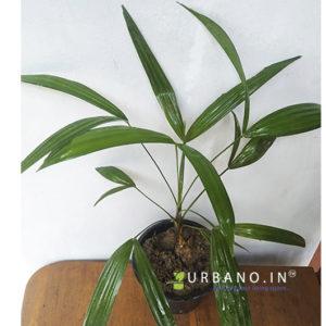Raphis Palm
