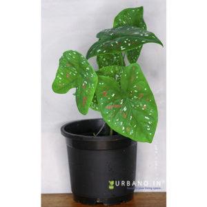 Caladium florida bicolor buck plant