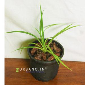 Spider Plant yellow