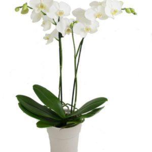 Dendrobium White Orchids Plant
