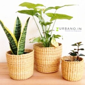 Kauna grass planter