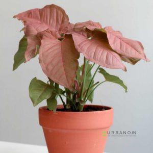 Syngonium-podophyllum-Pink